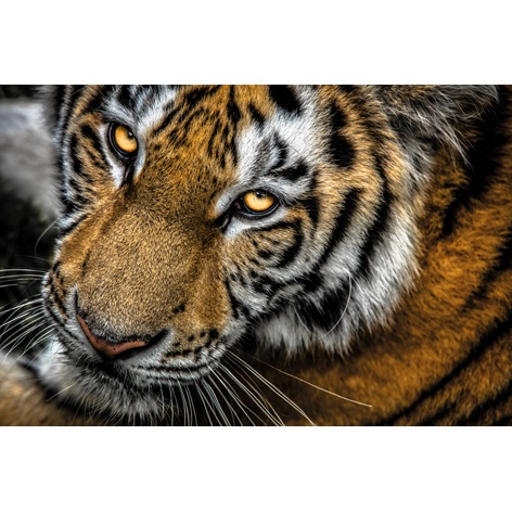 Wildlife I, Tiger